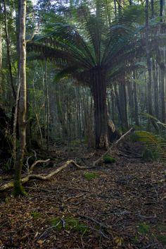A huge man fern, the Tarkine, NE Tasmania