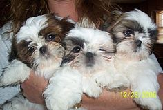 Shih tsu puppies could grow long hair after weeks, very cute puppies, i have a shih tzu puppy named Tony. rockingkshihtzu.com