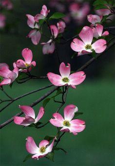 Flowering Dogwoods Revisted (Cornus florida): A Spring Portfolio Pink Dogwood, Dogwood Trees, Dogwood Flowers, Flowering Trees, Wild Flowers, Amazing Flowers, Beautiful Flowers, Blooming Trees, Types Of Flowers