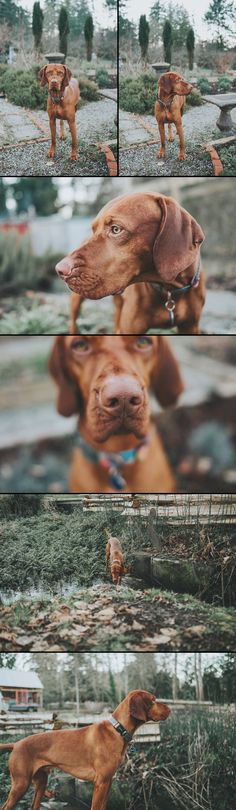 Vizsla, the dog that steals your heart...and your socks.