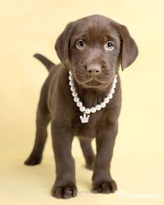 www.Vagabond-Dogs.com  A D O R A B L E CHOCOLATE LAB PUP :D