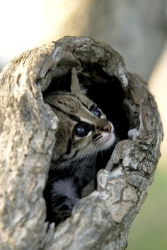 A Very Young Ocelot. (Photo By: SA Team. Nat.Geo.)
