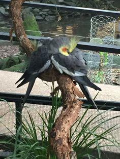 An abundance of birds, koalas, kangaroos, crocodiles & much more at the wildlife habitat park at Port Douglas