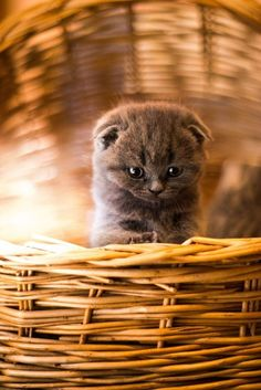 A fluffy, grey kitten with folded ears sitting in a basket.