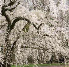 (Yoshino) Flowering Cherry