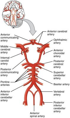 Healthy Diet Tips, Good Health Tips, Health And Fitness Tips, Health Advice, Health Diet, Brain Anatomy, Human Anatomy And Physiology, Medical Anatomy, Circle Of Willis