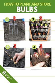 A complete how to manual on how to protect and store bulbs from the elements during the winter, including supplies, zone information, and tips. Garden Bulbs, Planting Bulbs, Garden Yard Ideas, Garden Projects, Cherry Tomato Plant, Tulip Bulbs, Bulb Flowers, Rare Flowers, Planting Vegetables