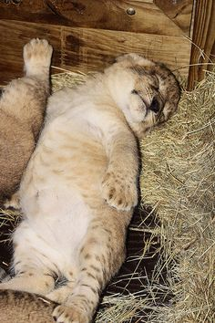Four Lion cubs born on March 6 at Zoo Miami were viewed in person for the first time last week after spending more than a month in the den with their mother.