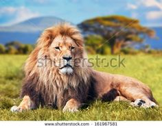 Big African Male Lion Lying on Savannah Grass Landscape With Trees in the Background, Hills too Beyond. This Male Lion Has a Far-Off Look, he Sees Something. Lion Wallpaper, Animal Wallpaper, Wallpaper Desktop, Computer Wallpaper, Wallpaper Ideas, Where Do Lions Live, Animals Images, Zoo Animals, Lion Pictures