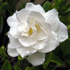 Gardenia | Gardenia
