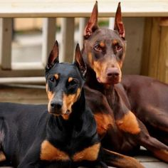 Ah, now here are two nice dobermans everyone can like!