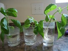 Planting Basil Cuttings/cut off different sizes of tops from a basil plant, and stick them in small glasses of water- it takes 3 weeks to get good roots