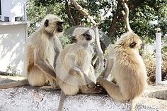Photo about Three grey langur monkey sit on a roof top railing taking an afternoon nap. They look so peaceful sleeping huddled together. Image of beautiful, brow, mammal - 69527545 Afternoon Nap, Roof Top, Monkeys, Stock Photos, Grey, Image, Beautiful, Gray, Rompers