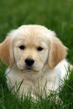 Golden Retriever Puppy in Grass by rkleine, via Flickr