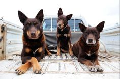 Best working Dogs Ever. I have this full size poster :D Horses And Dogs, Dogs And Puppies, Doggies, English Shepherd, Farm Dogs, Australian Cattle Dog, Love Pet, Working Dogs, Training Your Dog