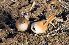 """Een prachtig vogeltje het """"Baardmannetje"""" één van mijn favorieten onder de kleinere vogels en ze daarom maar weer eens op de korrel genomen.   Foto en tekst: Maartensr Visser"""