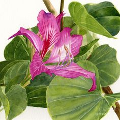 Orchid Tree Square Design Painting by Sharon Freeman