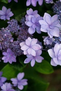 Germany, Purple Hortensia, Hydrangea:スマホ壁紙
