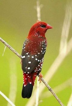 The Red Munia, Red Avadavat or Strawberry Finch (Amandava amandava) is a sparrow-sized bird of the Munia family. It is found in the open fields and grasslands of tropical Asia. They have such a beautiful song! Kinds Of Birds, All Birds, Birds Of Prey, Love Birds, Angry Birds, Pretty Birds, Beautiful Birds, Animals Beautiful, Beautiful Things