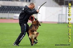Our male Maestro in the German Sieger, on competition For more info 0034659418994 Web www.criadorespastoraleman.com We ship our dogs all over the world
