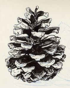 cute pen and ink pinecone drawing! Shell Drawing, Form Drawing, Drawing Sheet, Botanical Art, Botanical Illustration, Watercolor Drawing, Painting & Drawing, Pyrography Patterns, Observational Drawing
