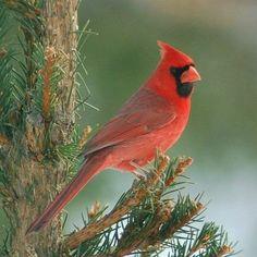 Northern Cardinal - My favorite Bird!!