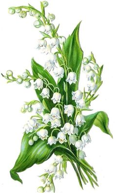 Maiglöckchen / Lily of the Valley Victorian Flowers, Vintage Flowers, Flower Images, Flower Art, Art Floral, Vintage Cards, Vintage Images, Watercolor Flowers, Watercolor Paintings
