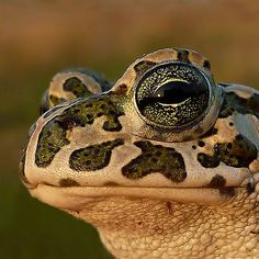 ~~ The Beauty...European Green Toad ( Bufo viridis) ~Here's looking at you kid!!!!