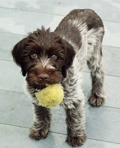aww... wirehaired pointing griffon puppy