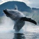 A gorgeous photo of a #humpback whale breaching in the waters near #Klemtu, BC…