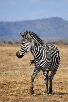 A zebra in the Serengeti National Park, Tanzania The Animals, Safari, Wild Photography, Animal Photography, Serengeti National Park, Horse Silhouette, Wild Creatures, African Cichlids, Tanzania