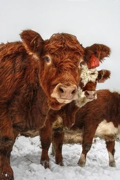 Photograph Heifers I by Eelhsa Marie Photography on Cute Baby Cow, Baby Cows, Cute Cows, Farm Animals, Animals And Pets, Cute Animals, Cow Pictures, Cow Photos, Fluffy Cows