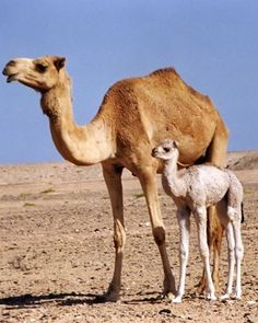 Mom and baby camel in the desert