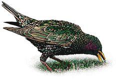 Google Image Result for http://www.washingtonpost.com/wp-srv/special/metro/urban-jungle/images/starling1.jpg