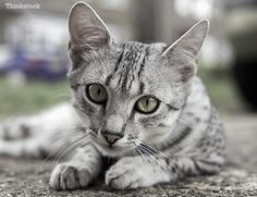 Egyptian Mau: learn more about this animal; its physical traits, temperament, behavior, etc. The Egyptian mau is one of the most elegant cats that exist. Egyptian Mau, Cat Love, Cats And Kittens, History, Cute, Animals, Beautiful, Egyptian Cats, Kitty Cats