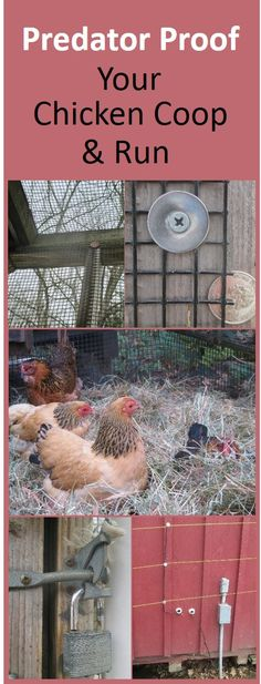 Predator proofing tips. Elevate the coop, enclose runs with properly secured half inch hardware cloth, create a skirt or underground fence, padlock the doors, and surround with electric wire in bear country. Chicken Coop Run, Chicken Coup, Portable Chicken Coop, Chicken Life, Backyard Chicken Coops, Building A Chicken Coop, Chicken Runs, Chickens Backyard, Chicken Houses