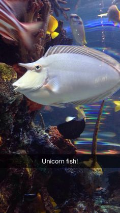 Spotted Unicorn Fish Strange Creatures and Pretty