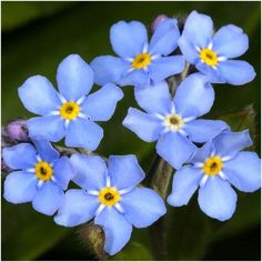 Forget-Me-Not Seeds (Myosotis sylvatica) Princess Di s Favorite Flower. Blue Flowers, Wild Flowers, Forget Me Nots Flowers, Spring Flowers, Forget Me Not Seeds, Victorian Flowers, Beneficial Insects, Language Of Flowers, Symbol Design