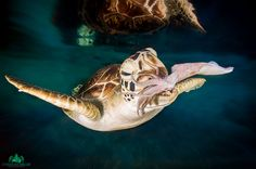 Kraken by Christian Miller on Photos Sous-marines, Kraken, Underwater, Christian, Blue, Animals, Turtle, Impressionism, Animales
