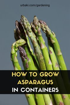 In this complete growing guide, we will be explaining how to grow asparagus in containers. Asparagus is a very fun plant to grow and is highly underappreciated. An early spring vegetable and a super nutrient-dense one at that! Asparagus is more challenging than most other plants, but with this video, I hope it will make it easy to grow for you. Add some asparagus to your container/patio garden this year! #urbakigardening #gardening #asparagus #asparagusincontainers #growasparagus #vegetables