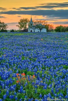 Striking field of bluebonnets with church in the distance. #bluebonnets #church Golf Courses, Beautiful Places