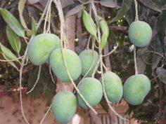 Fresh Mangos growing on trees in Gambia