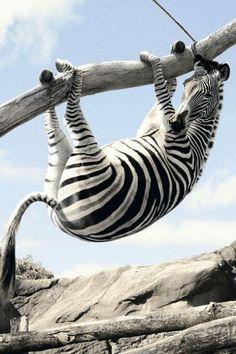 zebra in tree