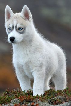 Ever seen a pup like this? White siberian Husky Dog Puppy Dogs Puppies Pup Huskies
