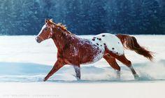 appaloosa horse running in the snow