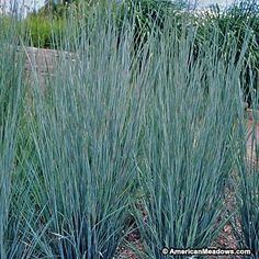 Little Bluestem Grass Prairie Blues, Schizachyrium scoparium, Little Bluestem Grass - Perennials from American Meadows