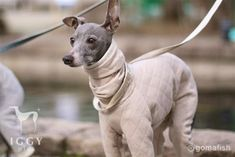 Quilt knit / Beige in IGGYplus italian greyhound clothes