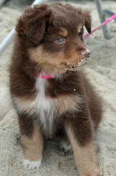 Bella the Australian Shepherd #dog #shepherd #animal