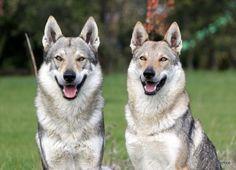 Czechoslovakian vlcak ( wolfdog )