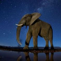 An African elephant under the starry sky. - Bence Máté